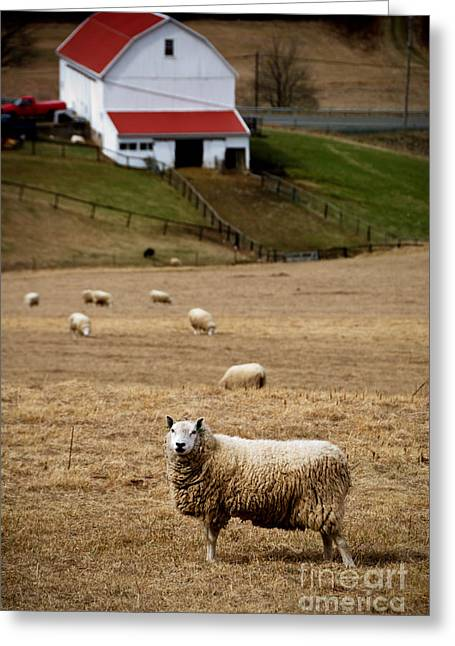 Looking Greeting Cards - Sheep Grazing Greeting Card by Amy Cicconi