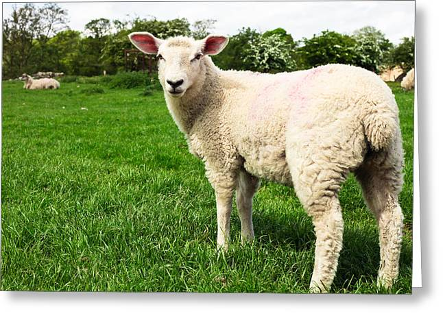 Vulnerable Greeting Cards - Sheep in field Greeting Card by Tom Gowanlock