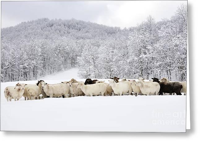 Appalachian Farm Greeting Cards - Sheep in Heavy Snow Greeting Card by Thomas R Fletcher