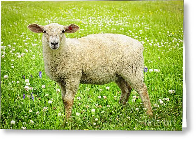 Sheep Greeting Cards - Sheep in summer meadow Greeting Card by Elena Elisseeva