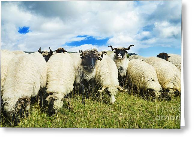 Beautiful Clouds Pyrography Greeting Cards - Sheep in the field Greeting Card by Jelena Jovanovic