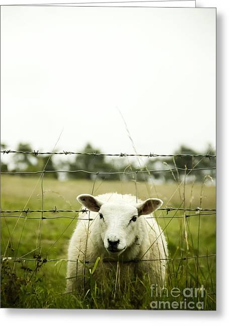 Grassy Field Greeting Cards - Sheep Greeting Card by Margie Hurwich