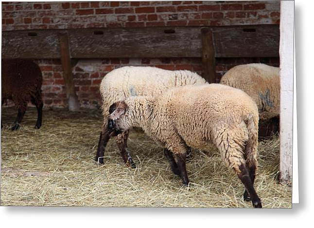 Sheep Photographs Greeting Cards - Sheep - Mt Vernon - 01131 Greeting Card by DC Photographer