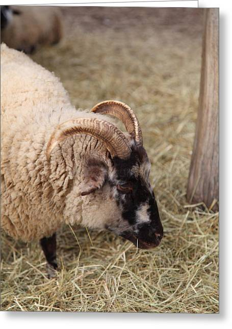 Sheep Photographs Greeting Cards - Sheep - Mt Vernon - 01134 Greeting Card by DC Photographer