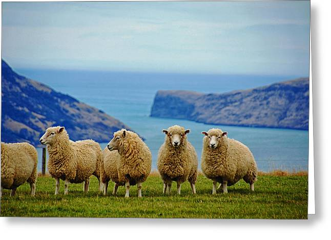 Country Woolies Greeting Cards - Sheep of New Zealand Greeting Card by Mountain Dreams