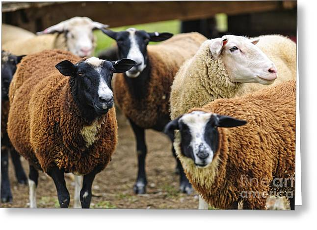 Organic Photographs Greeting Cards - Sheep on a farm Greeting Card by Elena Elisseeva