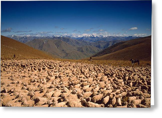 Herder Greeting Cards - Sheep Otago New Zealand Greeting Card by Panoramic Images