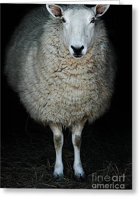 Country Woolies Greeting Cards - Sheep Greeting Card by Stephanie Frey