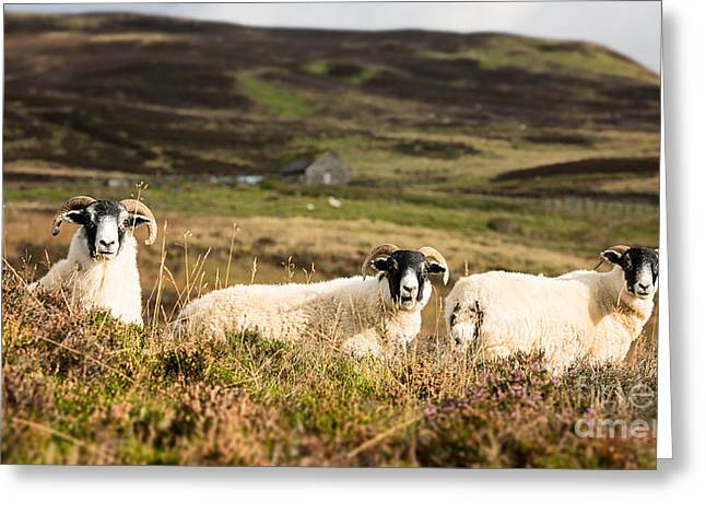 White Face Mountain Greeting Cards - Sheep trio Greeting Card by Jane Rix