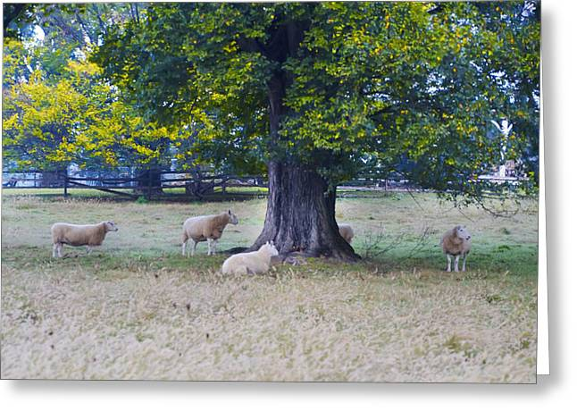 Erdenheim Greeting Cards - Sheep under a Tree Greeting Card by Bill Cannon