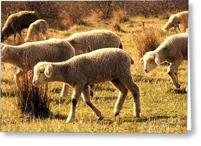 Shepherds Greeting Cards - Sheeps  Greeting Card by Dan Radi