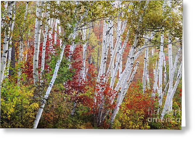 Shelburne Birch Greeting Card by Jim Block