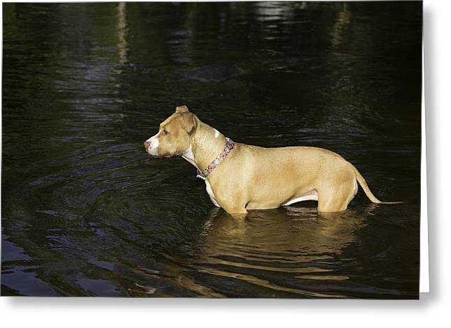 Swimming Dog Greeting Cards - Shelby Cooling Off Greeting Card by Thomas Young