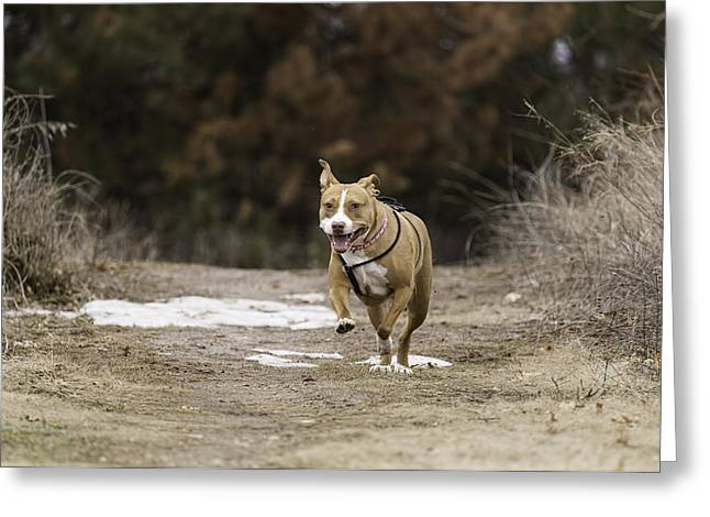 Running Dog Greeting Cards - Shelby Kicking Up Her Heals Greeting Card by Thomas Young