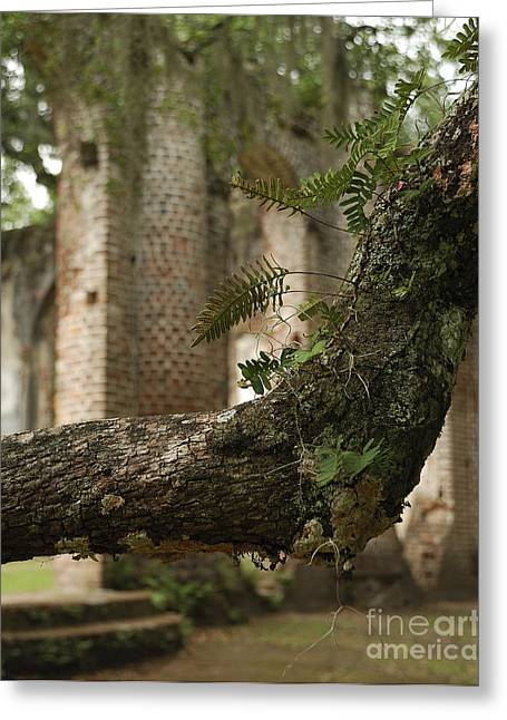 Civil War Site Greeting Cards - Sheldon Church Ferns Greeting Card by Jere Snyder
