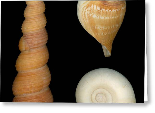 Shell - Conchology - Shells Greeting Card by Mike Savad