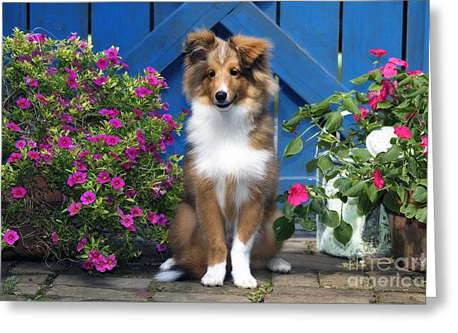 Impatiens Flowers Greeting Cards - Sheltie - D001280 Greeting Card by Daniel Dempster