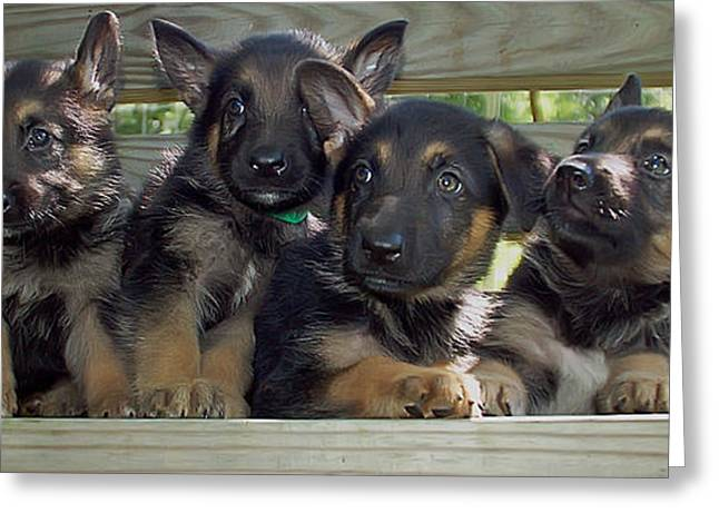 Shepherd Pups 2 Greeting Card by Aimee L Maher Photography and Art