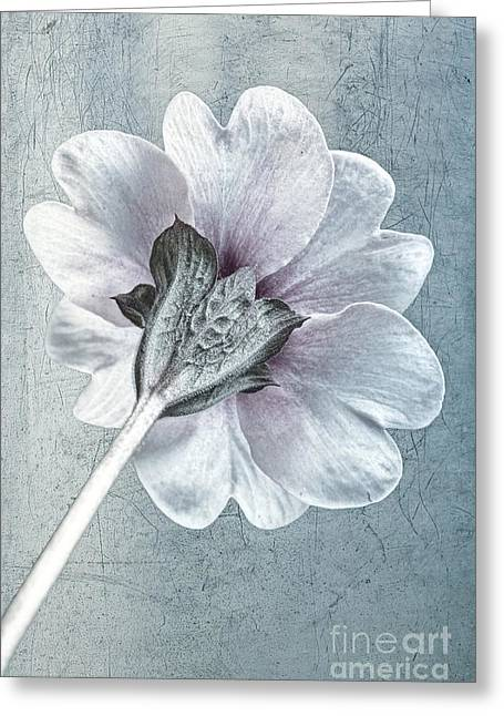 Close Focus Floral Greeting Cards - Sheradised Primula Greeting Card by John Edwards