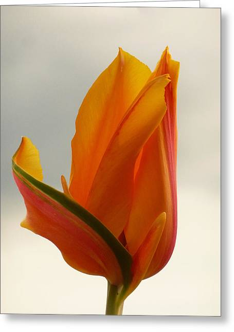 Spring Bulbs Greeting Cards - Shes Come Undone  Greeting Card by Connie Handscomb