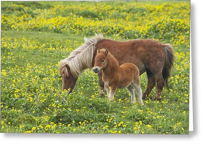 Breeds Greeting Cards - Shetland Pony Foal In Marsh Marigold Greeting Card by Bill Coster