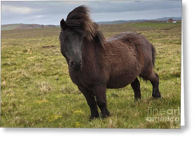 Equidae Greeting Cards - Shetland Pony Greeting Card by Thomas Hanahoe