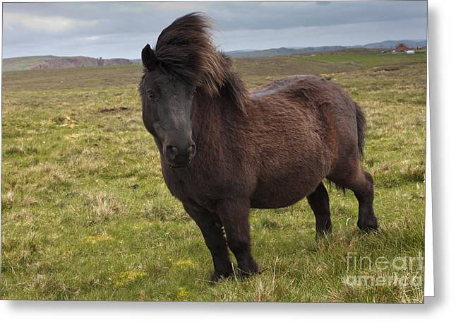Mammalia Greeting Cards - Shetland Pony Greeting Card by Thomas Hanahoe