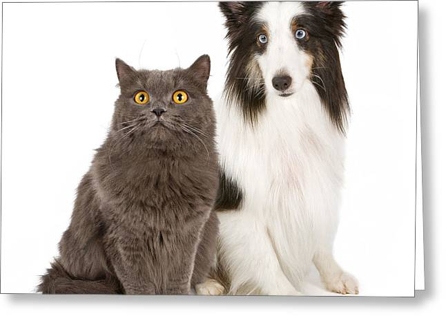 Isolated On Black Background Greeting Cards - Shetland Sheepdog and Gray Cat Greeting Card by Susan  Schmitz