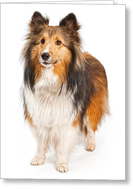 Herding Dogs Greeting Cards - Shetland Sheepdog Dog Isolated on White Greeting Card by Susan  Schmitz