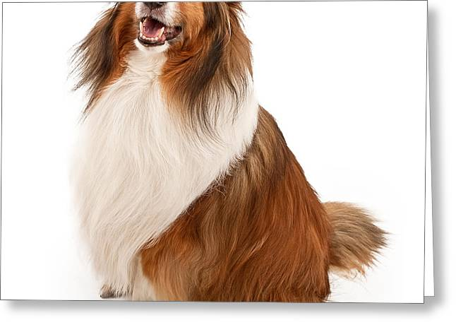 Shetland Dog Greeting Cards - Shetland Sheepdog Isolated on White Greeting Card by Susan  Schmitz