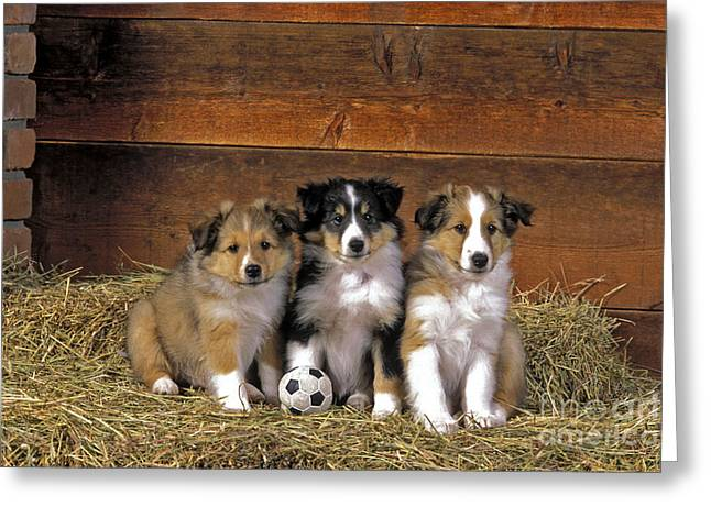 Hay Bales Greeting Cards - Shetland Sheepdog Puppies Greeting Card by Rolf Kopfle