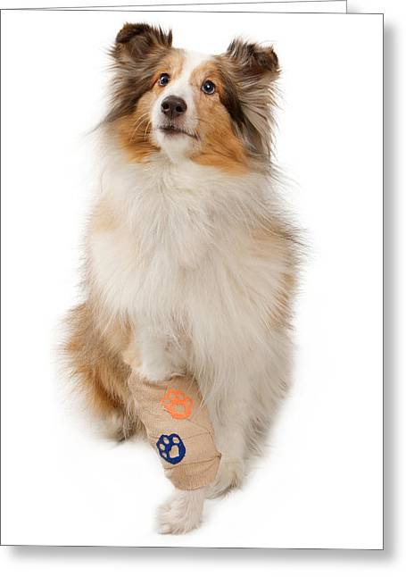 Shetland Dog Greeting Cards - Shetland Sheepdog With Injured Leg Greeting Card by Susan  Schmitz