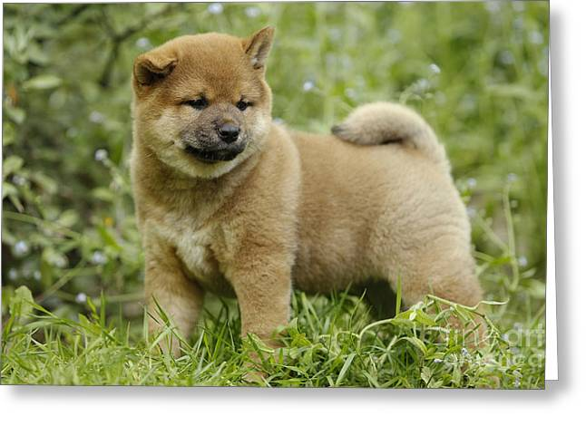 Japanese Puppy Greeting Cards - Shiba Inu Puppy Dog Greeting Card by Jean-Michel Labat