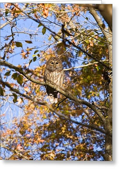 Landing Place Greeting Cards - Shiloh Owl Greeting Card by Mike Talplacido