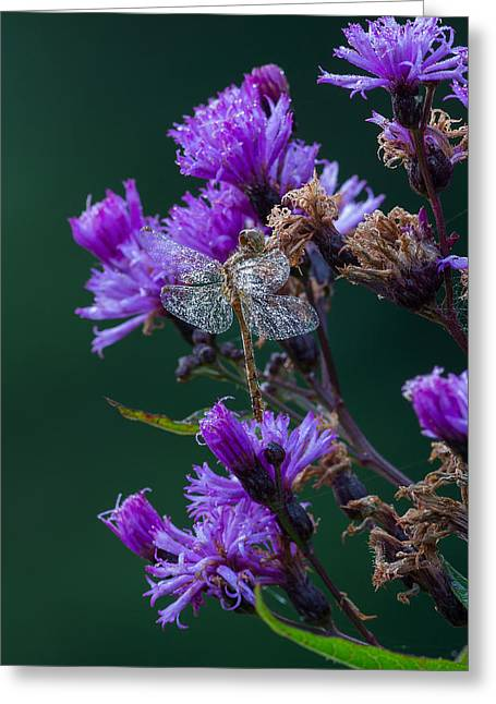 Dragon Flies Photographs Greeting Cards - Shimmering Dew Greeting Card by Dale Kincaid