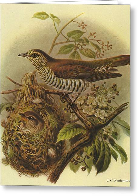 Shining Cuckoo Greeting Card by J G Keulemans