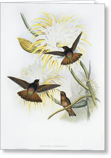 Hovering Greeting Cards - Shining sunbeam hummingbirds, artwork Greeting Card by Science Photo Library