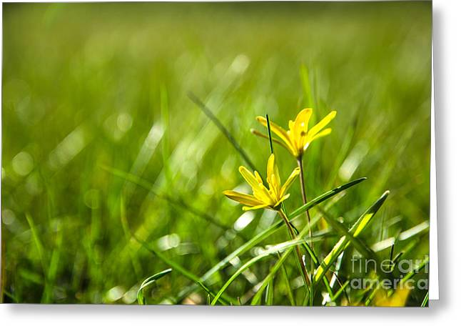 Star Of Bethlehem Greeting Cards - Shiny yellow flower Greeting Card by Kennerth and Birgitta Kullman