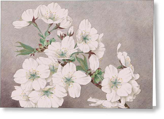 Cherry Blossoms Paintings Greeting Cards - Shirayuki - White Snow - Vintage Japan Watercolor Greeting Card by Just Eclectic