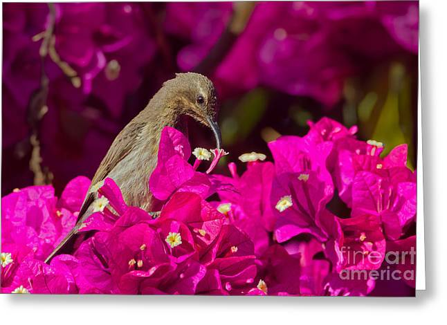 Sunbird Greeting Cards - Shocking Pink Greeting Card by Ashley Vincent