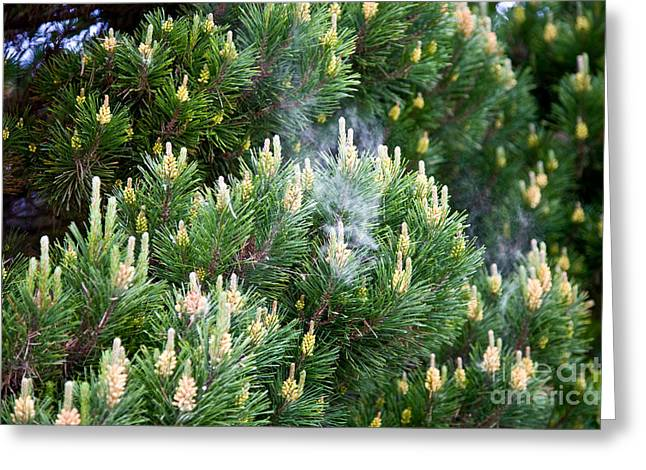 Pine Cones Greeting Cards - Shore Pine Pollen Greeting Card by Gregory G. Dimijian, M.D.