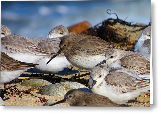 Dennis Ma Photographs Greeting Cards - Shorebirds Huddle in The Wind Greeting Card by Dianne Cowen