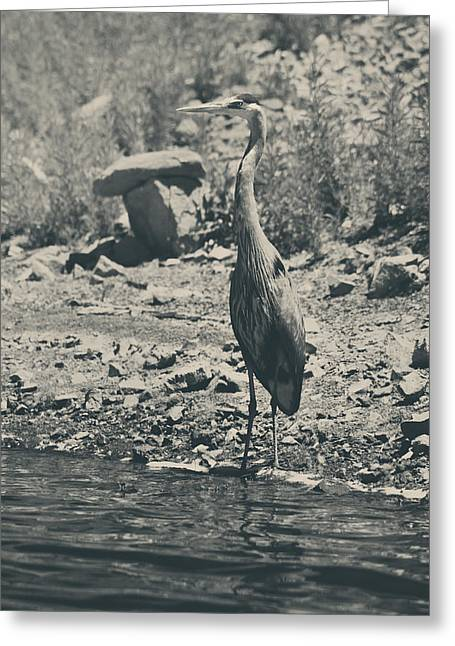 Great Blue Heron Greeting Cards - Shoreline Greeting Card by Laurie Search