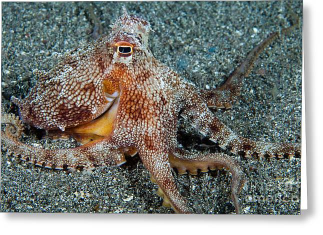 Short Sands Greeting Cards - Short-armed Sand Octopus Greeting Card by David Fleetham