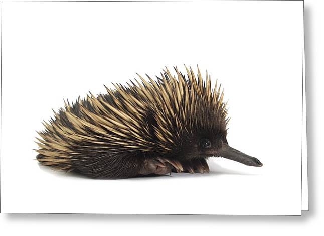 Cut-outs Greeting Cards - Short-beaked echidna Greeting Card by Science Photo Library
