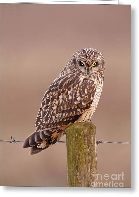 British Fauna Greeting Cards - Short-eared Owl Greeting Card by Des Ong FLPA