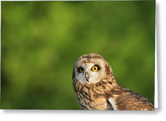 Owl Photographs Greeting Cards - Short Eared Owl In Summer Greeting Card by Dan Sproul