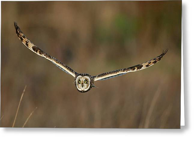 Scoullar Greeting Cards - Short Eared Owl Greeting Card by Paul Scoullar