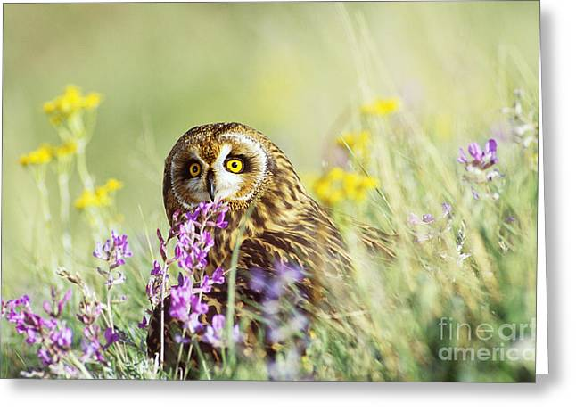 Short-eared Owl Greeting Card by Thomas and Pat Leeson