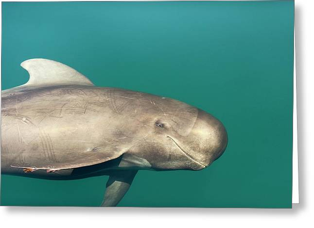 Short-finned Pilot Whale Greeting Card by Christopher Swann